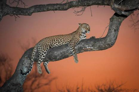 Sunset Leopardess - Sabi Sands Game Reserve, South Africa