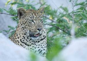 The mashaba female - Londolozi Game Reserve