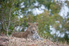 The Mashaba young female poses perfectly for our cameras.