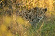 The tamboti female watching a herd of impala
