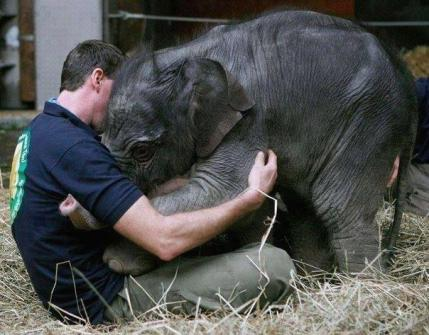 This baby elephant's mother died. She is seen in this photo greeting the man taking care of her.