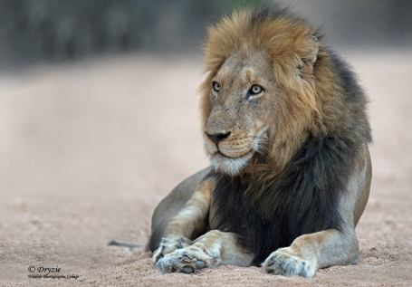 Thornybush male......