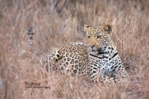 Twinspots cub by Mark Drysdale