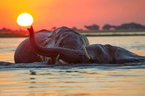 Two bull elephants engaged in play-wrestling at sunset on the Chobe River.