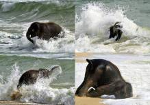 When a baby elephant sees the sea for the first time