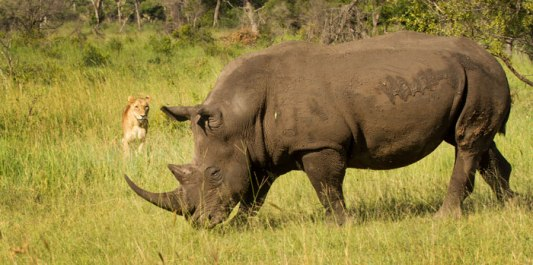 White Rhino and Lioness