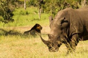 White Rhino and Majingilane Males