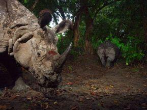wounded-rhinoceros-kaziranga_26758_990x742