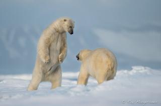 12 Polar bears. Copyright © Roy Mangersnes.