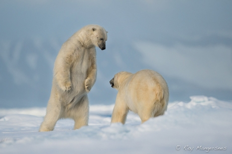 12 Polar bears. Copyright © Roy Mangersnes.
