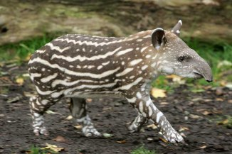 4-week-old South American tapir cub learns walking