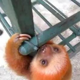 A baby sloth