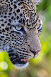 A close up of the Nanga Female.
