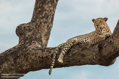 A-dominant-male-leopard-relaxing-high-up-tree-and-scanning-his-territry-okavango-delta-botswana-by-grant-atkinson