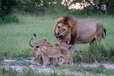A Majingilane Male scolds his offspring as their mothers go out to hunt.