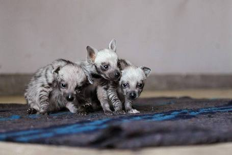 A trio of striped hyena cubs