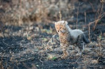 A very young cheetah cub shows itself in an opening.