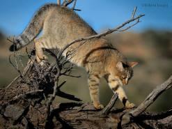 African wildcat (Felis silvestris lybica) by Willem Kruger