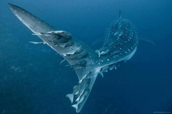 Amazing whale shark