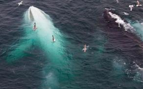 An extremely rare white humpback whale spotted recently near Norway. This is only the second known adult white humpback whale on the planet. The first is Migaloo.