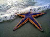 Astropecten articulatus or royal starfish is a sea star of the family Astropectinidae.