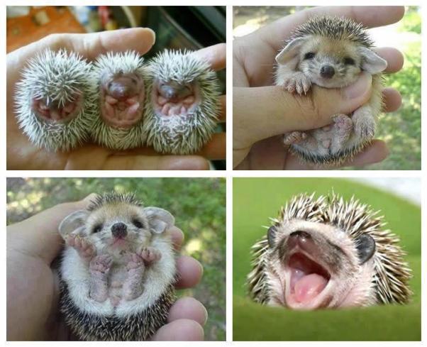 Baby Hedgehogs