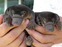 Baby Platypus