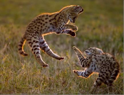 Baby Servals - Photo © Paul Goldstein