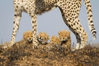 Below mom for safety, but also after a quick meal. Much needed nourishment from protein rich milk, keeps these cubs growing in their first few months. Kate Neill