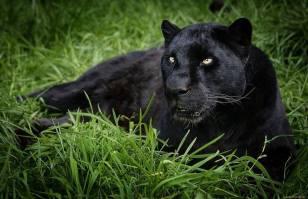 black-panther-black-silk