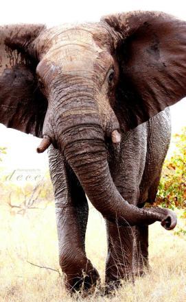 bull elephant having a mud bath in the Kruger Park