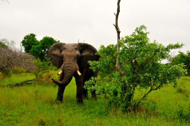 Bull-elephant-protecting-his-herd