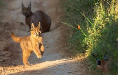 Caracal - Image by Jacques Matthysen