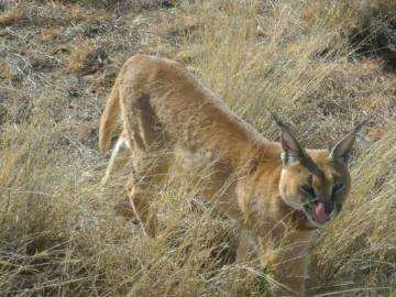Caracal in Namibia
