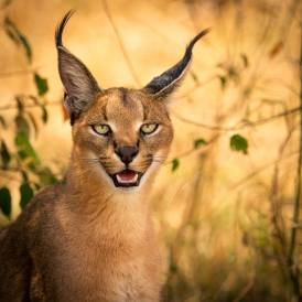 Caracal - Photo © Alison Buttigieg