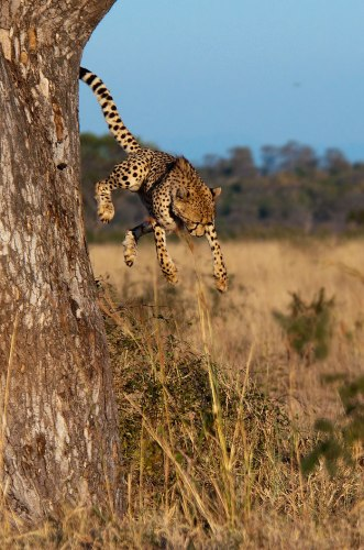 Cheetah-falling-from-tree1