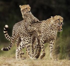 cheetah-mum-and-cubs-by-bert-wildo