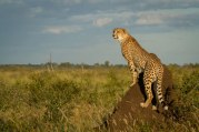 CheetahNoBus