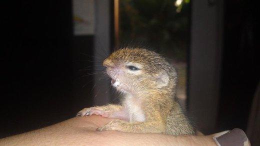 Chitwa Chitwa Thando Tree Squirrel