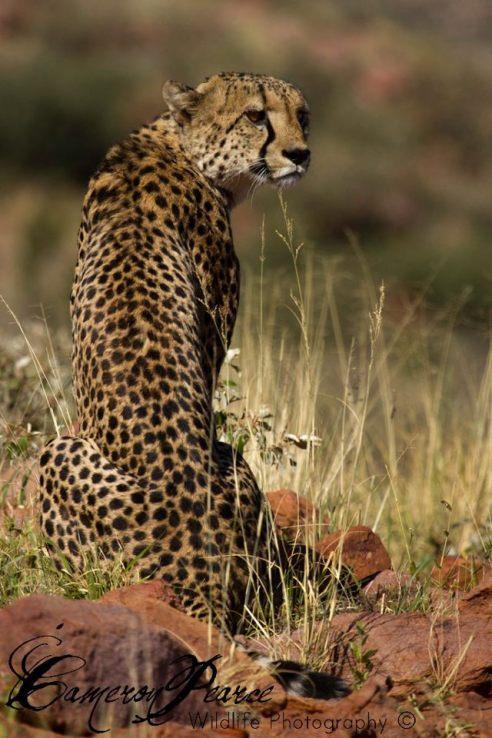 Dominant Male at Tswalu