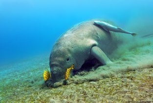 Dugong