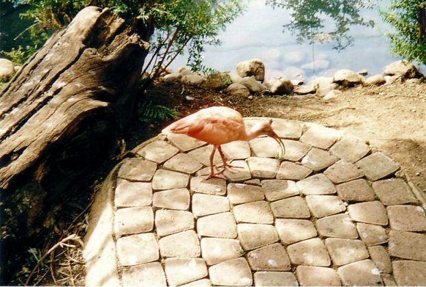 e8 Pink Ibis