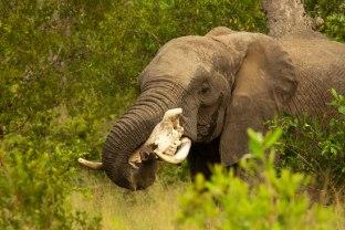 elephant-carries-rhino-skull