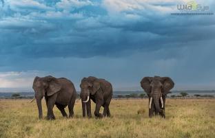 elephant_trio_1_MasaiMara_2013