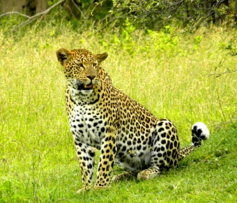 Female-leopard-right-outside-our-camp1
