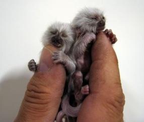 Finger monkeys