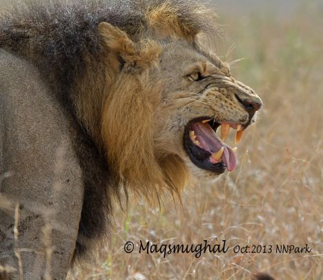 Flehmen-king-at-nairobi-national-park-kenya-by-maqsood-Mughal