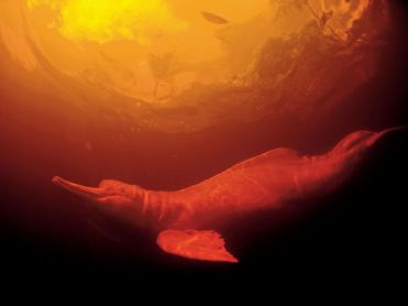 freshwater-dolphin-amazon_6316_990x742