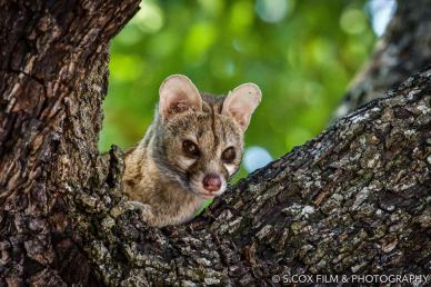 Genet in daylight by S. Cox
