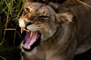 Getting up close and personal with a female lion at Queen Elizabeth National Park - Nick Parayko